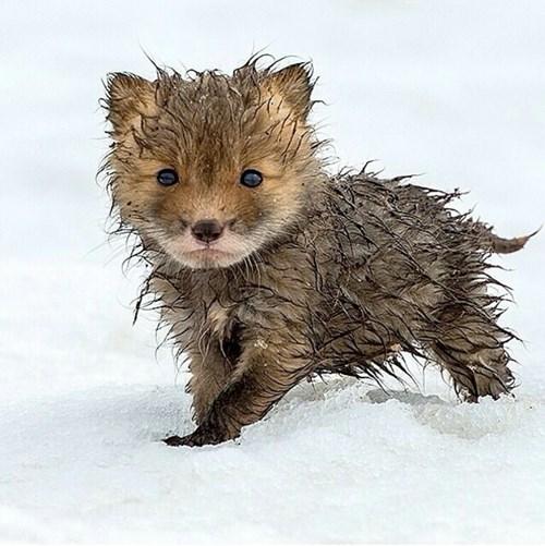Babies,cute,foxes,snow,wet