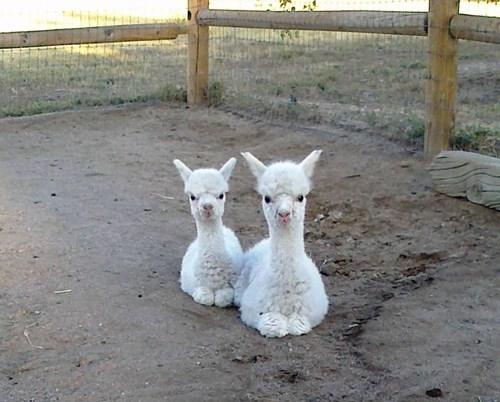 alpaca Babies cute - 8269556224