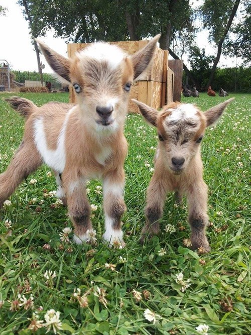Babies cute kids goats - 8269559040