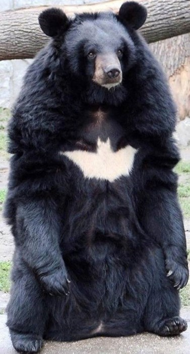 bear batman - 8270445312