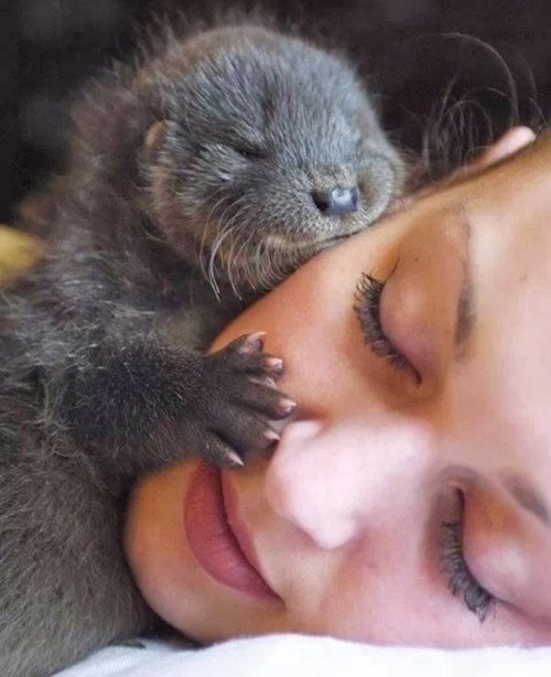 Babies cute otters kissing squee - 8270501632