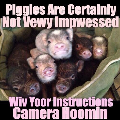 pig,cute,squee