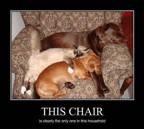 chair dogs Cats sleeping funny