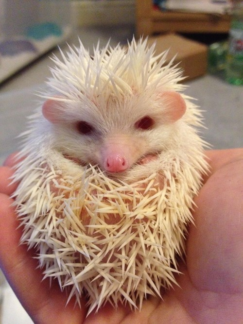 albino cute hedgehog squee