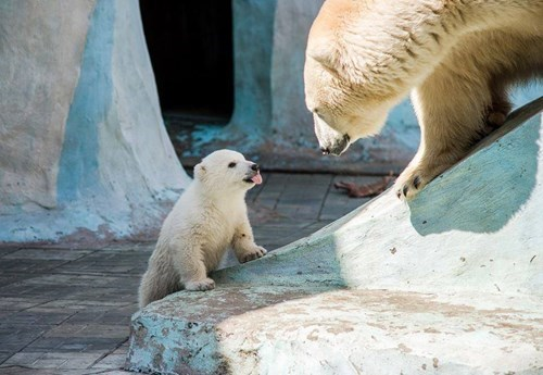 polar bears cute cubs tongues funny - 8271521280