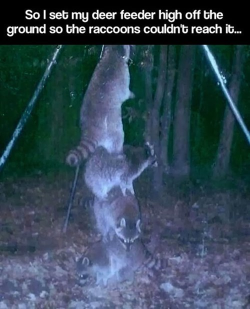 teamwork,raccoons,funny