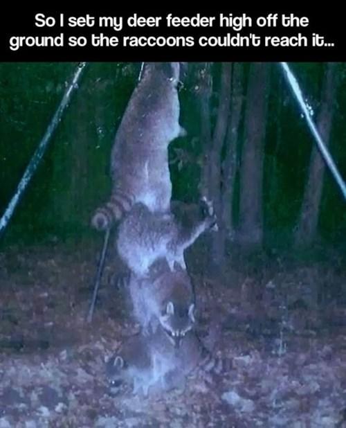 teamwork raccoons funny - 8271588608