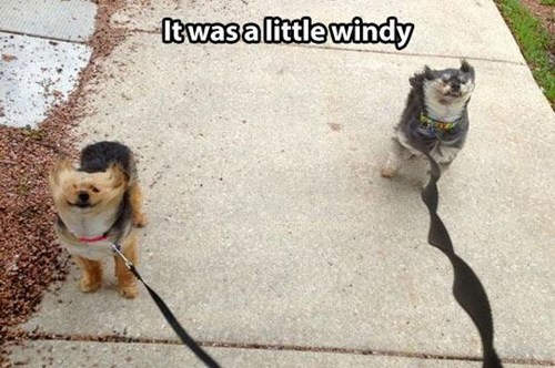 Funny picture of someone who is walking two dogs in the wind as is clear from the way their fur is billowing from the strong breeze.