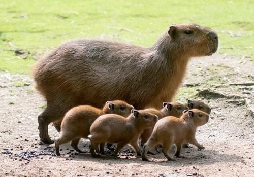 Babies capybara cute - 8273705472