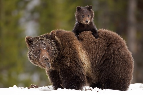 bears,mama,cute,cubs