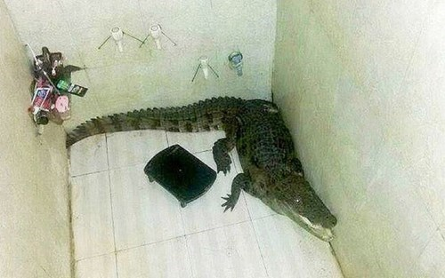 crocodile Probably bad News animals fail nation g rated - 8274031872