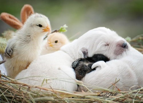 chicks snuggle puppies cute - 8274253568