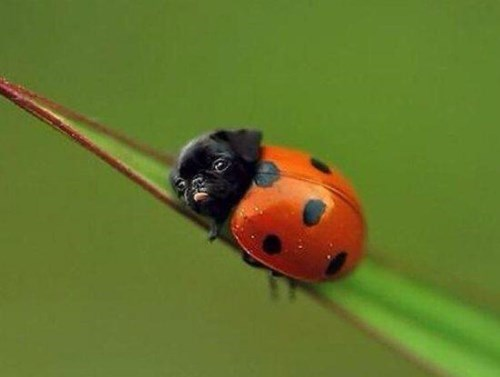bugs cute dogs pug puns ladybug - 8274955776