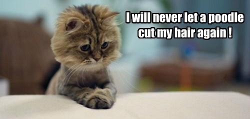 poodles haircut Cats regret - 8277525248