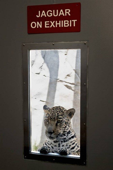 scary jaguar zoo funny - 8277735424
