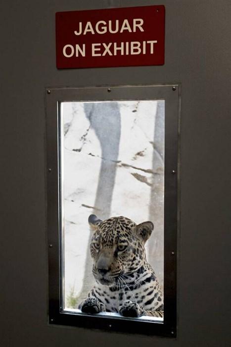 scary jaguar zoo funny - 8277735424