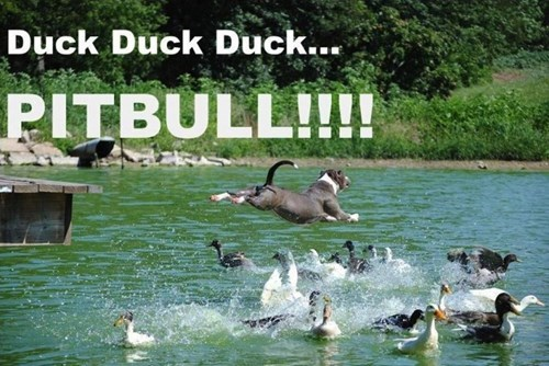games dogs ducks pitbull funny - 8277776896