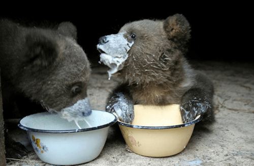 bears cute cubs messy noms squee - 8277807360