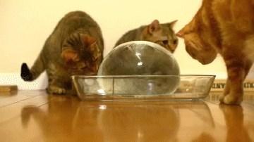 Cats Enjoy Ice Balloon