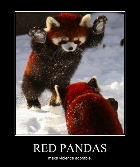 violence red pandas cute funny