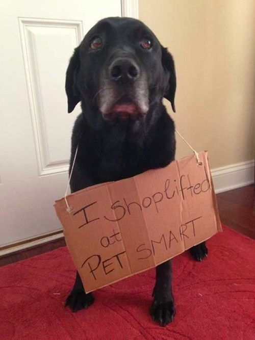 dogs cute dog shaming funny - 8278708736
