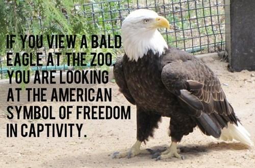 freedom funny bald eagle - 8278734592