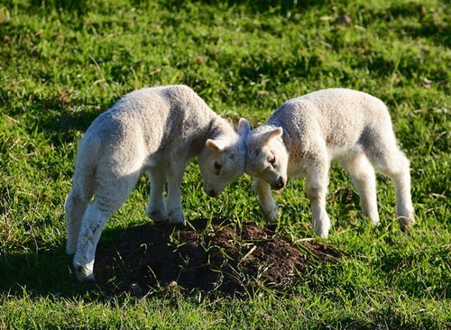 cute sheep head butting lambs squee - 8278742784