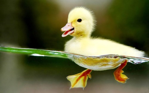 ducklings,cute,swimming