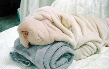 puppies cute wrinkly squee - 8278747904