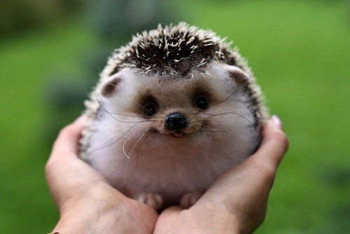 cute hedgehog squee - 8278763008
