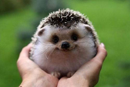 cute hedgehog squee - 8278763008
