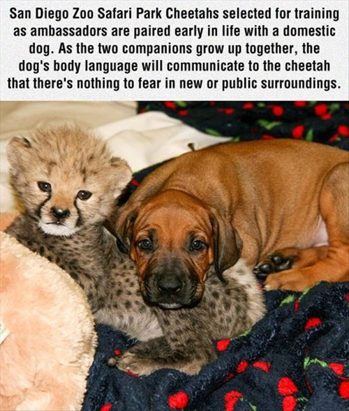 dogs,cheetah,zoo