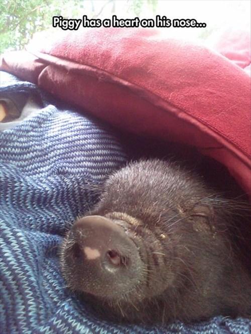 heart pig cute snout
