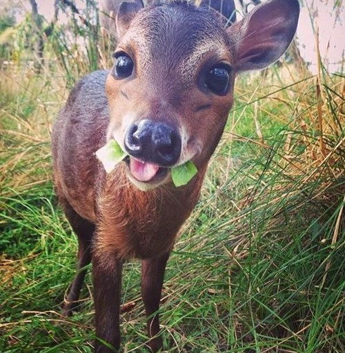 teeth,cute,deer,squee