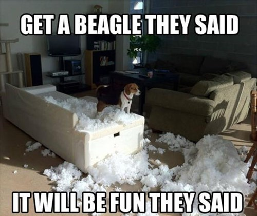 dogs beagles destroy funny