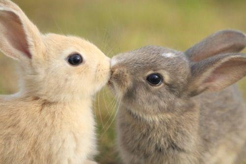 bunnies cute kissing rabbits