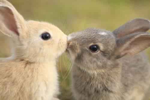 bunnies cute kissing rabbits - 8281310464