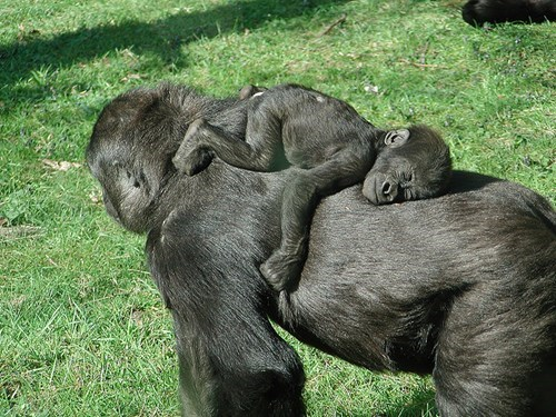 baby parenting sleeping gorilla - 8281962496