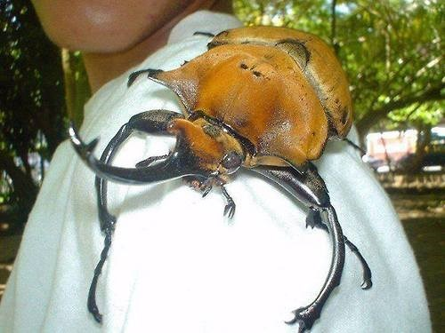 Rhinoceros Beetles Are Huge