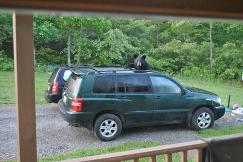 bears,road trip