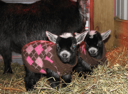 poorly dressed,argyle,goats,cute,sweater