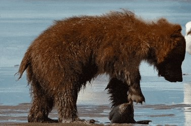 Bear Cub's First Clam Dance