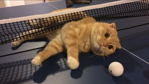 cheating Cats funny ping pong - 8286557184