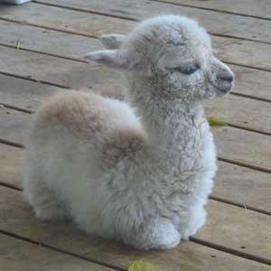 Babies llama cute - 8286566144