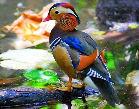 birds,ducks,cute,colorful,madarin duck