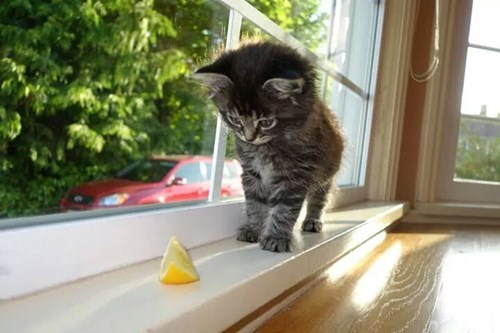kitten,lemons,cute,confused,squee