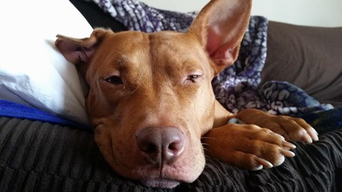 dogs smirk lazy cute