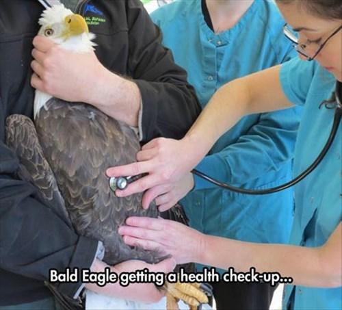 america,vet,bald eagle