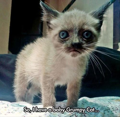 Grumpy Cat kitten funny - 8287940864
