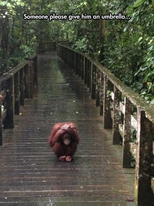 apes rain - 8287945216